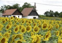 Bei den Sonnenblumen gibt es zum heurigen Anbau zwar keine Neuzulassungen