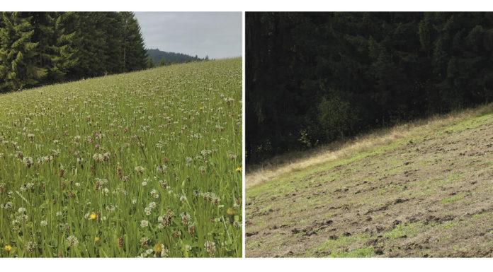 Solche Schäden kann der Engerling anrichten: Das Bild zeigt die gleiche Wiese am 7. Juli 2013 und am 13 September 2013.