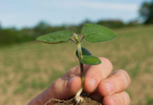 Durch Ausgraben der Pflanzen ab dem zweiten Laubblatt kann der Beimpfungserfolg kontrolliert werden.