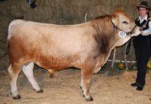 Die Rasse Murbodner stellt seit dem Vorjahr die größte Herde bei den Fleischrinderrassen.