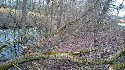 Biber fällen ganze Bäume