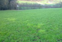Die Nester der Gemeinen Rispe sind im Frühjahr als typisch hellgrün-gelbliche Grasflecken von weitem erkennbar. Oberflächlich betrachtet täuscht die Gemeine Rispe eine saftige Grasnarbe vor.