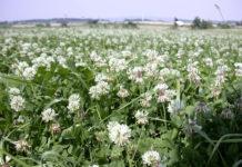 Gut entwickelter Weißklee - der konkurrenzstarke Bodendecker besiedelt Kahlstellen und entzieht der Gemeinen Rispe damit Standraum und Wasser.