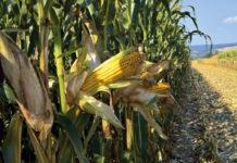 Leistungsfähige Maissorten von Probstdorfer