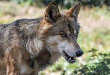 In Tirol bereitet man sich auf die Rückkehr der Wölfe vor.