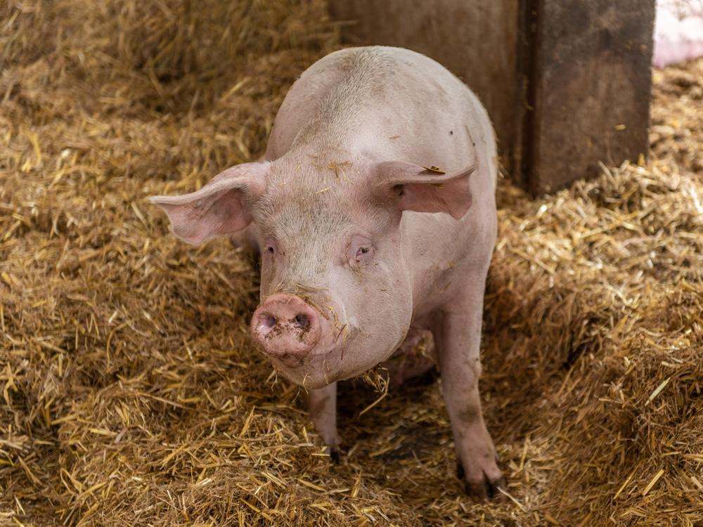 schweine bilden ein visuelles konzept menschlicher gesichter bauernzeitung. Black Bedroom Furniture Sets. Home Design Ideas
