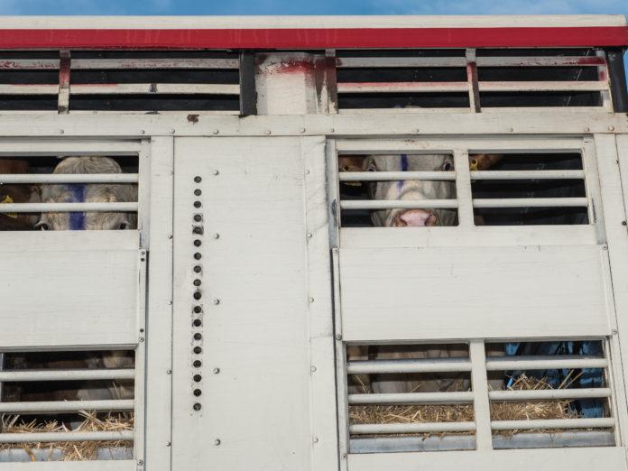 Sinnlose Tiertransporte sollen vermieden werden. Die Stärkung der regionalen Kreisläufe trägt dazu bei.