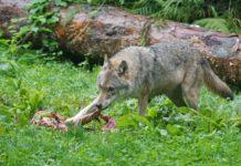 Für mehr Sachlichkeit in der Wolfsdebatte plädiert Tirols Landesumwelt Johannes Kostenzer, er selbst stellt die Bauern jedoch als die Sündenböcke dar.