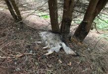 Ob es sich bei dem Tier um einen Wolf handelt, wird überprüft.