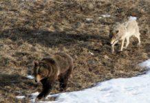In Tirol wurde sowohl Wolfs- als auch Bären-DNA an gerissenen Schafen gefunden.