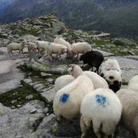 Schafherde zu verkaufen!